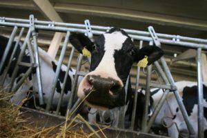 locuri de munca ferme de vaci